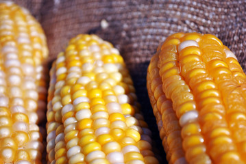 Yellow ripe corn on a rough texture sackcloth horizontal background, close up macro detail, top view