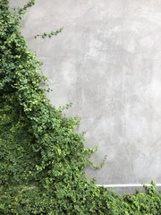 Green ivy on the wall, stucco, concrete grey with room for text, nice background