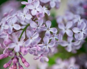 A branch of a lilac macro shot. Ветка сирени макросъемка.