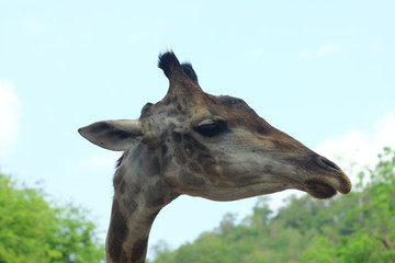 Giraffe head close-up. Wildlife Nature.