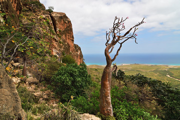 Endemic plant of the Socotra Island, Yemen, Africa
