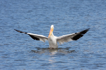 American white pelican genuflects in a lake