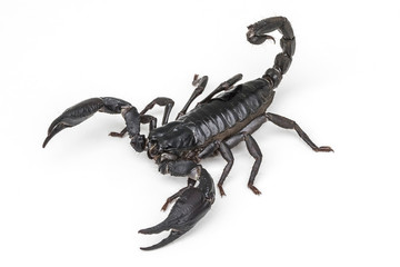 Giant Asian Forest Scorpion (Heterometrus spinifer) isolated on White