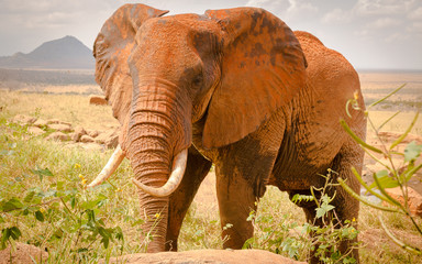 African elephant before morning in water hole, Front view, Kenya Tsavo