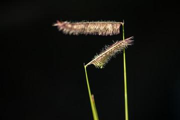 Moskitogras im harten Seitenlicht vor schwarzem Hintergrund