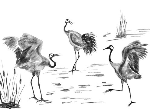 Three  Japanese cranes birds drawing.  Watercolor and ink illustration in style sumi-e, u-sin, go-hua. Oriental traditional painting. Isolated ..