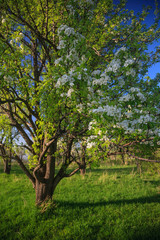 old abandoned blooming pear garden