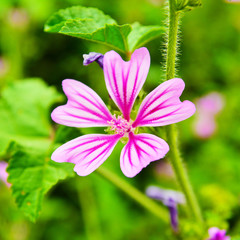 malva cathayensis flower