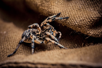 Wolf spider on tissue, паук волк на ткани