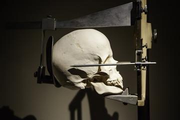 Medical skull for studies