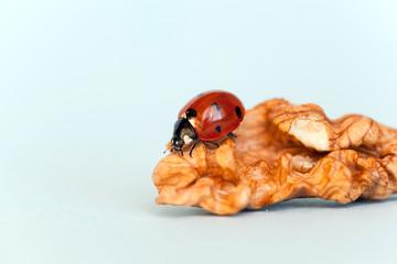 Ladybug creeps on a walnut kernel. Closeup