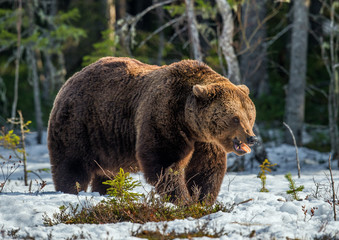 Wild Adult Brown Bear on the snow in early spring forest. Scientific name:  Ursus arctos.