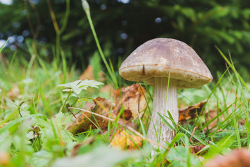 Mushroom boletus grows in the forest in early autumn