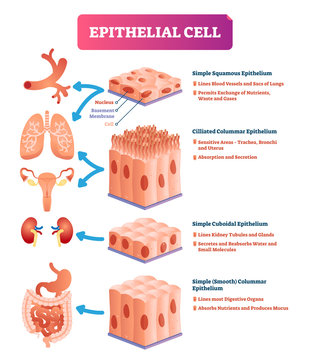 Epithelial cells vector illustration. Medical location and meaning diagram.