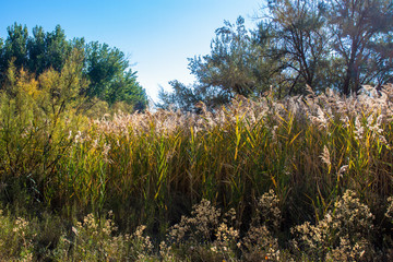 Tall marsh grasses in autumn along the Green River at Ouray National Wildlife Refuge in northeastern Utah