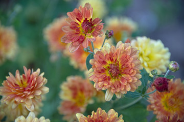 FLOWERS - Korean chrysanthemum