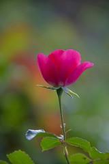 FLOWERS - red rose in sun light