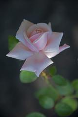 FLOWERS - rose antique