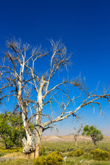 A dead Cottonwood tree is one result of severe drought in the American West