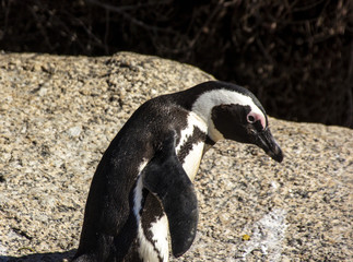 South African penguins in Boulders Beach, Simon's Town, near Cape Town. African penguins are listed as endangered species, but in Boulder's bay near Cape Town one can see them easily in the wild.