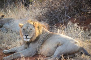 Panthera leo,Löwe, Kenia, Tsavo east, Löwen schläft, Lion, liegen, schlafen, gefressen, morgens, Nahaufnahme, stieren