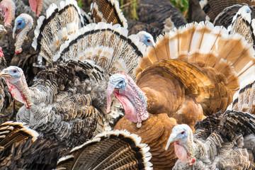 Photo of turkeys on a home farm.