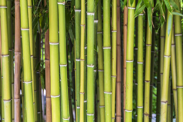 Bamboo plant background