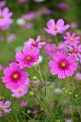 満開の濃いピンクのコスモス