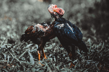 Small cockfighting in the lawn.
