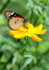 Butterfly tiger island yellow flower
