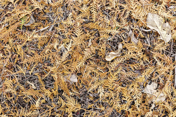 brown dried thuja branches on ground. natural autumnal background pattern