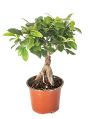 Ficus benjamina in studio