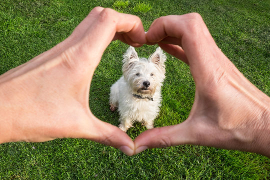Dog looking adoringly at owner who is making heart shape with hands - cute west highland terrier westie pedigree