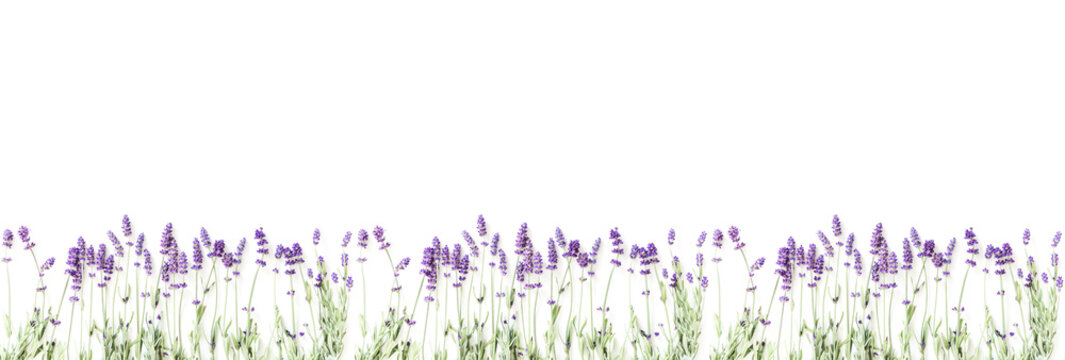 Flowers composition. Frame made of fresh lavender flowers on white background. Lavender, floral background. Flat lay, top view, copy space, banner