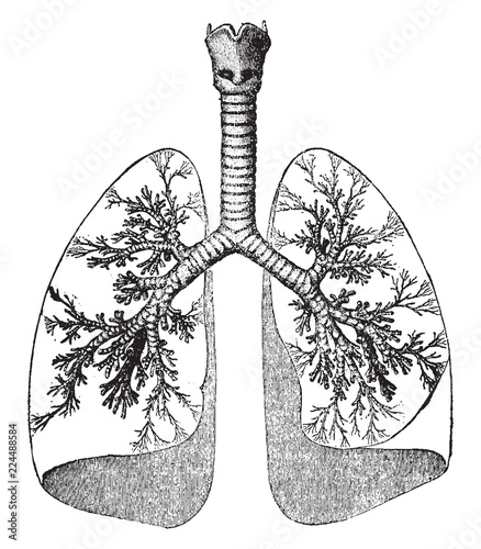 Lungs And Trachea Vintage Illustration Stock Image And Royalty