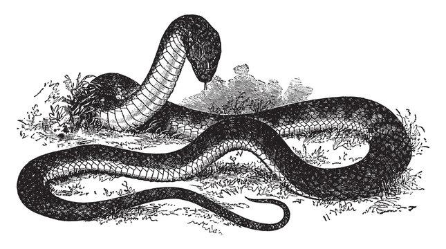The Tiger Snake, vintage illustration.