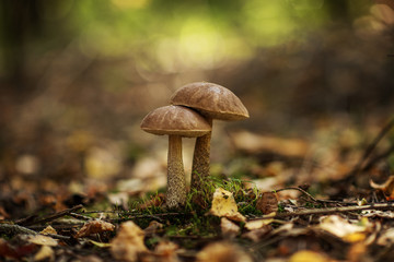Obraz Leccinum scabrum, commonly known as the rough-stemmed bolete, scaber stalk, and birch bolete, is an edible mushroom in the family Boletaceae, and was formerly classified as Boletus scaber - fototapety do salonu