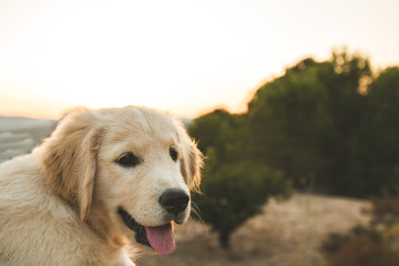 Close up of a golden retriever puppy dog in the field
