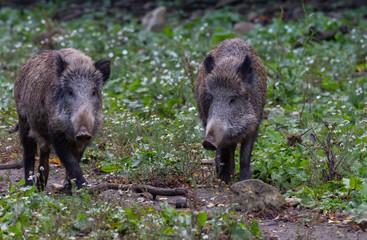 Wild Boar in fall