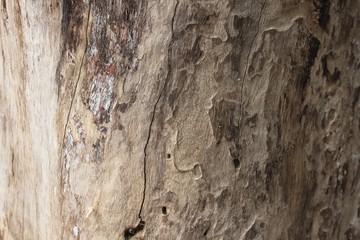 Bark of mango tree.