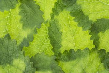 Wall Mural - lemon balm leaf (Melissa officinalis) plant background close up