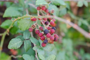 blackberries ripening in the bushes