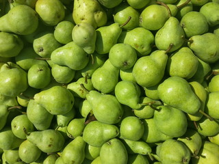Fruits of green pears harvested and stored for transport, organic farming
