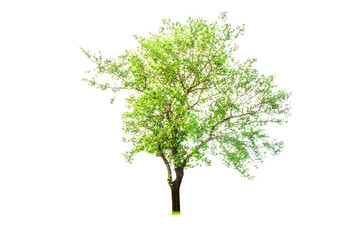 Isolated tree on white background,Isolated tree from thailand