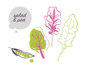 Vector hand drawn illustration of fresh raw pea and salad leaves vegetable isolated on white background. Sketch style. Healthy food element. Good for menu, banner, packaging design etc.