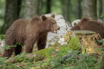 Young bears, Slovenia