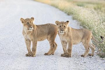 Botswana, Kgalagadi Transfrontier Park, young lions, Panthera leo, standing on gravel road