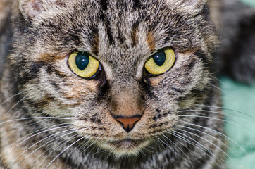 cat with yellow eyes, close-up