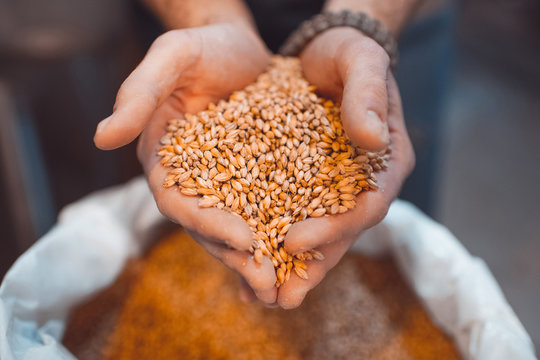 Malt in the hands of the brewer close-up. Holds grain in the palms of your hands
