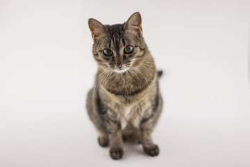 Pets in the home are curious gray tabby cat willingly poses for the camera